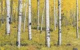 Coloradói nyírfa erdő fali poszter