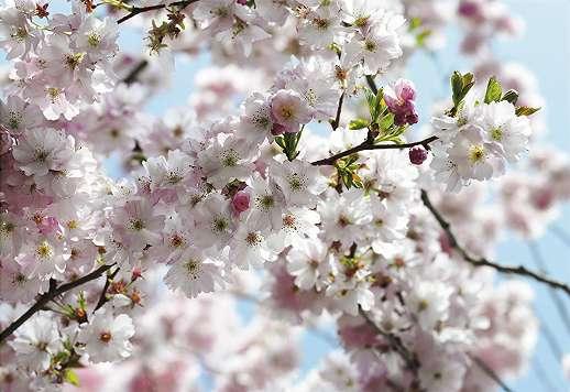 Cseresznyefa virágzás fali poszter