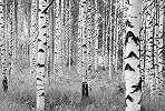Fali poszter nyírfa mintával