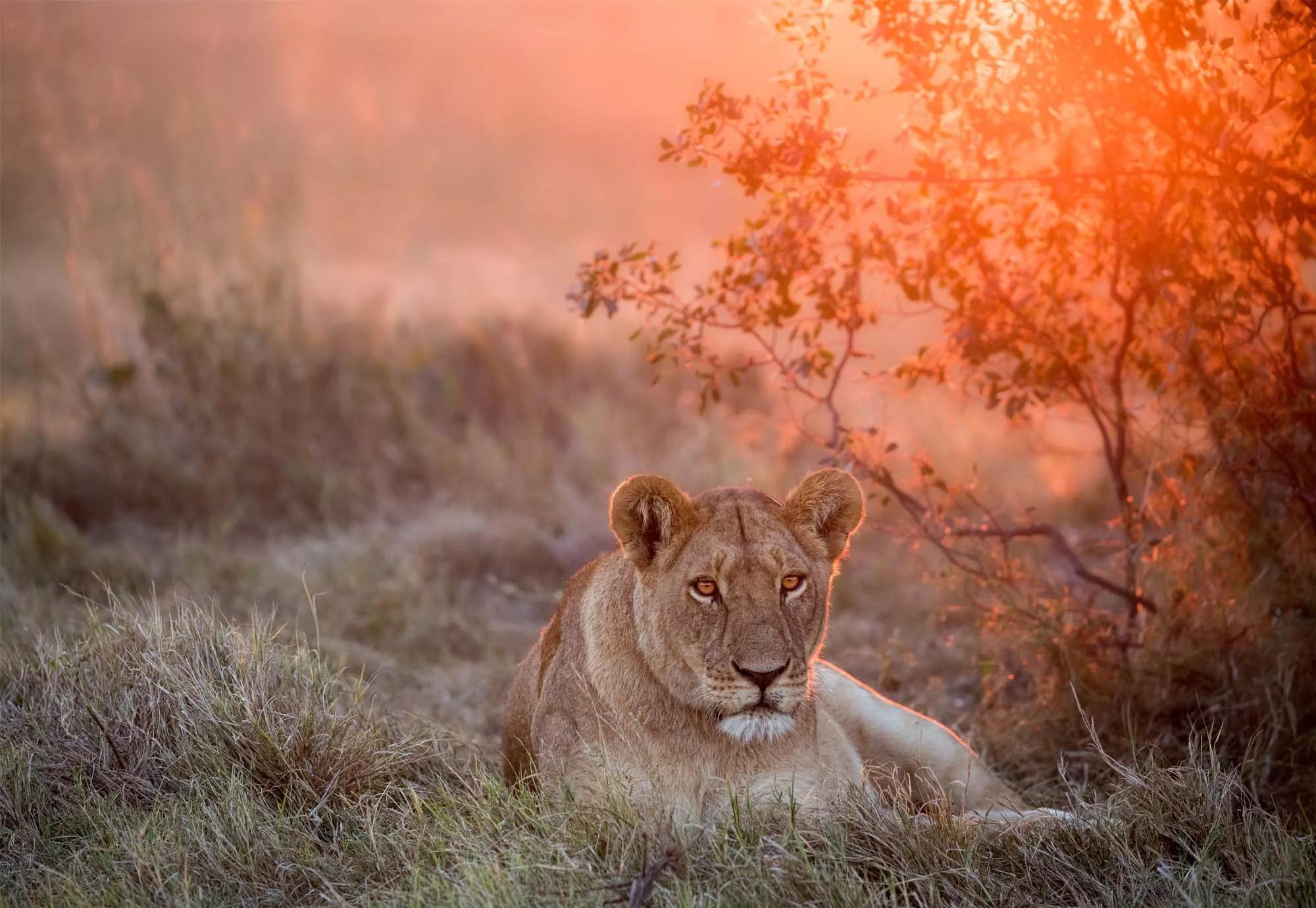 Fali poszter oroszlán és napfelkelte az afrikai szavannán