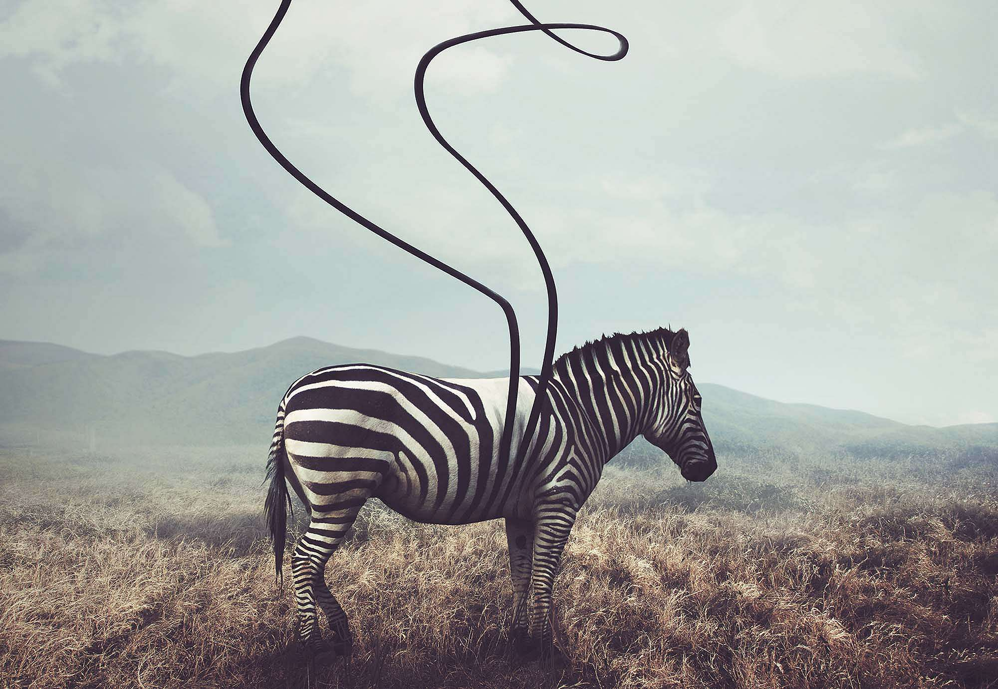 Fali poszter zebra az afrikai szavannán