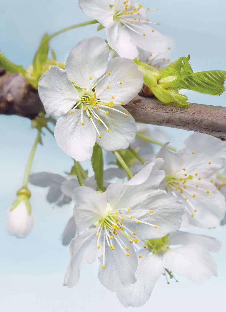 Fehér cseresznyevirág fali poszter