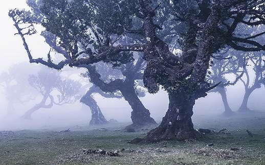 Misztikus csikorgó babér fák fali poszter