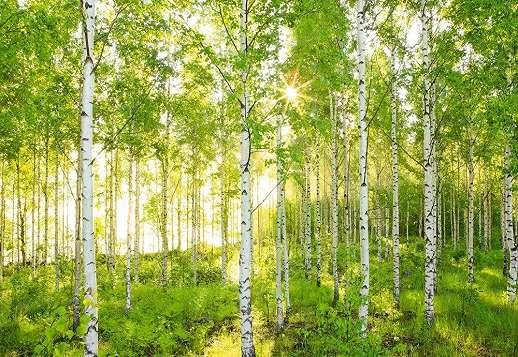 Nyírfa erdő fali poszter