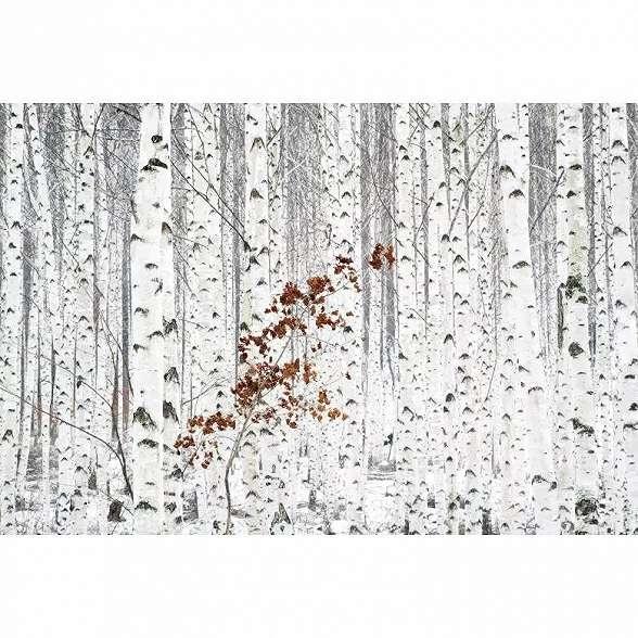 Nyírfa erdő mintás fali poszter