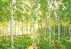 Nyírfa erdő mintás poszter