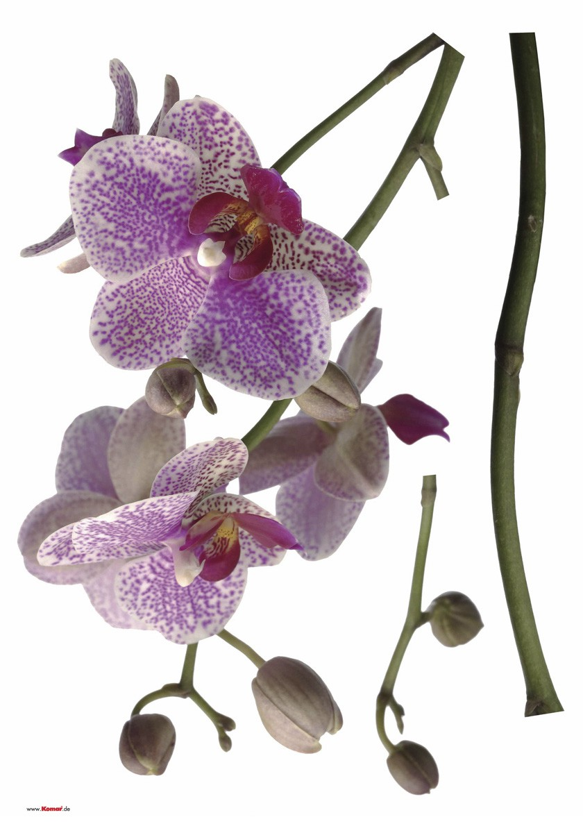 Orchidea falmatrica
