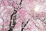 Romantikus cseresznyevirág mintás fali poszter