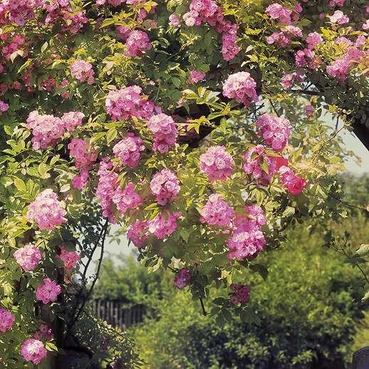 Rózsakert fali poszter