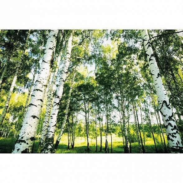 Tavaszi hangulatú nyírfa erdő mintás fali poszter